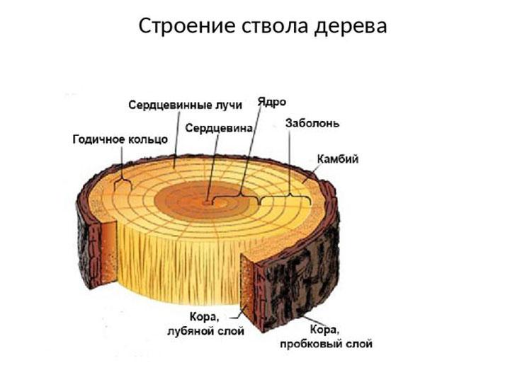 Заболонь в строении ствола дерева